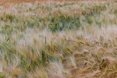Härlig sikt av fältet a på en solig dag stäng sig upp vete Fotografering för Bildbyråer