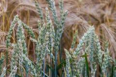 Härlig sikt av fältet a på en solig dag stäng sig upp vete Arkivbild