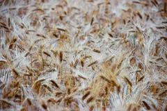 Härlig sikt av fältet a på en solig dag stäng sig upp vete Arkivbilder