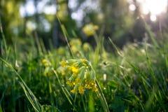Härlig sikt av gräsmattan med gula blommor av gullvivan fotografering för bildbyråer