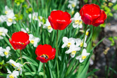 Härlig sikt av röda tulpan Royaltyfria Foton