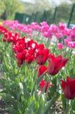 Härlig sikt av röda tulpan under solljuslandskap på mitt av våren eller sommar Royaltyfri Foto