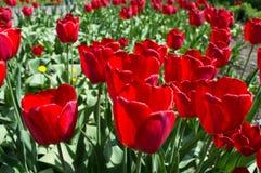 Härlig sikt av röda tulpan under solljuslandskap på mitt av våren eller sommar Arkivfoto