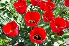 Härlig sikt av röda tulpan under solljuslandskap på mitt av våren eller sommar Arkivbild