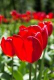 Härlig sikt av röda tulpan under solljuslandskap på mitt av våren eller sommar Royaltyfri Fotografi