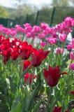 Härlig sikt av röda tulpan under solljuslandskap på mitt av våren eller sommar Arkivbilder
