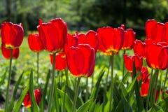 Härlig sikt av röda tulpan under solljuslandskap på mitt av våren eller sommar Royaltyfria Foton