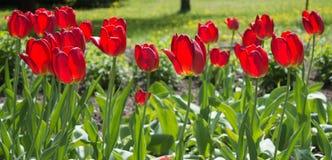 Härlig sikt av röda tulpan under solljuslandskap på mitt av våren eller sommar Arkivfoton