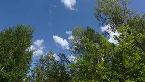 Härlig sikt av rörande blast av höga träd på bakgrund för blå himmel arkivfilmer
