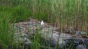 Härlig sikt av seagullen som sitter på stenen som simmar därefter i sjön H?rliga naturbakgrunder lager videofilmer