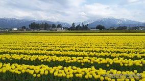 Härlig sikt av tulpanträdgårdfält med en bergbakgrundssikt Fotografering för Bildbyråer