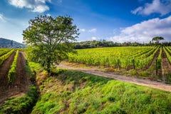 Härlig sikt av vingårdarna i Tuscany Arkivfoton
