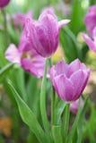 Härlig sikt för blommatulpan Fotografering för Bildbyråer