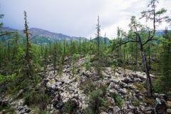 Härlig sikt till granträd i berg, naturligt landskap 40 grader glaserar mer russia ruskiga siberia än Royaltyfria Foton
