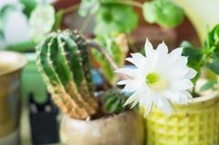 Härlig silkeslen blomma för vitanbudEchinopsis Lobivia kaktus Royaltyfri Bild