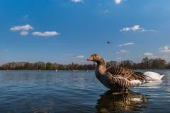 Härlig simning för grågåsgås i en pöl eller en sjö arkivbilder