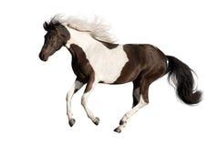Härlig skäckig häst Arkivbilder