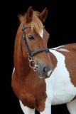 Härlig skäckig stående för welsh ponny Royaltyfri Fotografi