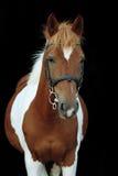 Härlig skäckig stående för welsh ponny Arkivfoton