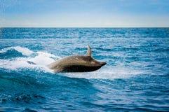 Härlig skämtsam delfinbanhoppning i havet Royaltyfri Fotografi