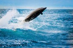 Härlig skämtsam delfinbanhoppning i havet Arkivbild