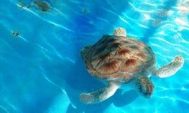 Härlig sköldpadda i akvarium arkivfoton