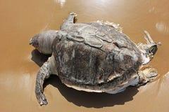 Härlig sköldpadda på stranden Royaltyfria Bilder
