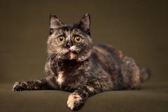 Härlig sköldpadds- katt med gula ögon arkivfoto