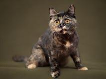 Härlig sköldpadds- katt med gula ögon arkivfoton