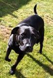 Härlig skinande svart hund för labradorStaffordshire Bull terrier korsning med ledsna ögon Royaltyfri Fotografi