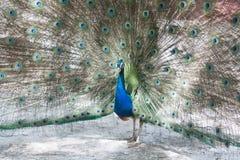härlig skogpåfågel Arkivfoto