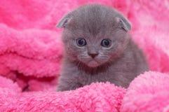 Härlig skotsk ung katt Royaltyfri Bild