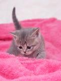 Härlig skotsk ung katt Arkivfoto