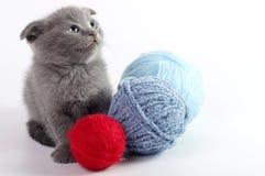 Härlig skotsk ung katt Arkivbild