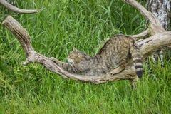Härlig skotsk vildkatt som göra sig till på träd i sommarsolljus arkivfoto