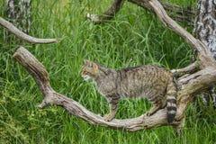 Härlig skotsk vildkatt som göra sig till på träd i sommarsolljus arkivbilder