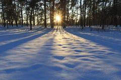 Härlig solnedgång i de täta skog- och skuggaträden Royaltyfria Bilder