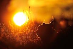 Härlig solnedgång med lodjurkontur Royaltyfri Fotografi
