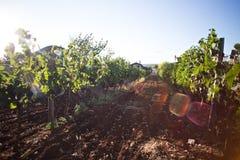 Härlig solnedgång på vingårdlantgård i Kroatien eller Frankrike Royaltyfri Foto