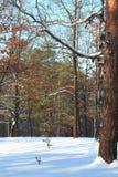 Härlig solnedgångsoluppgång i Sunny Winter Snowy Forest Sun sken över vinterträn Slutet av sörjer upp filialer arkivfoto