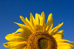 härlig solros Arkivfoton