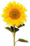 härlig solros Fotografering för Bildbyråer