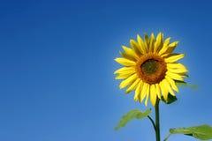 härlig solros Royaltyfri Bild
