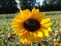 härlig solros royaltyfri foto