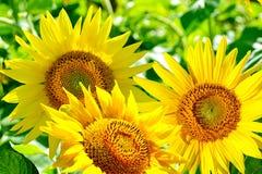 härlig solros Royaltyfri Fotografi