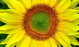 härlig solros Arkivfoto