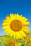 Härlig solros mot den blåa skyen Royaltyfri Foto