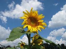 Härlig solros mot den blåa skyen Royaltyfria Bilder