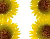 Härlig solros och vitbakgrund Royaltyfri Fotografi