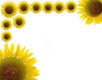 Härlig solros och vitbakgrund Royaltyfria Bilder